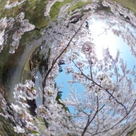 登米森林公園、桜が満開です。 桜の中にThetaを入れて撮影してみました。