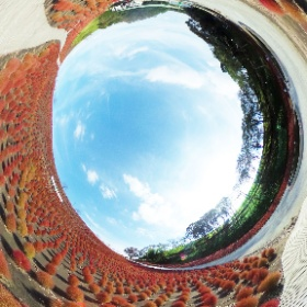 まんまるでふわふわのかわいいコキア♪♪  10月頃から2万株のコキアが紅葉をします。  東京ドイツ村の秋をお楽しみください(^_^)v  2018年