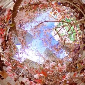 新宿 Cherry pink ふたたび #RICOH THETAで撮る、360°で残したい日本の風景  #360°で残したい日本の風景 #日本の風景 #shinjuku  #theta #thetameet #thetameettokyo  #新宿組 #街の色 #sakura3d #theta360