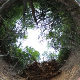 2019/05/19 天童山 もみの木の根っこ #theta360