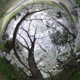 同じく、兵庫県川西市の桜、公園内、接写 #theta360
