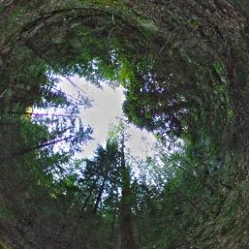 Paraplyträd nr p31 i Skarnhålans gammelskog. Genom att sponsra stor-aspen så skyddas trädet och dess närmaste omgivning för evigt. https://naturarvet.se #naturarvet #gammelskog #naturvård #skyddadnatur #natur #paraplyträd #träd #fadder