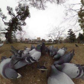 道後公園のハトの群れをパノラマ写真にしてみまTHETA。 #theta360