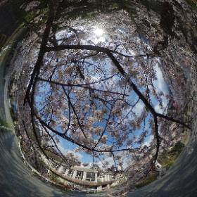 2017.4.15 宮城野早川堤 #sakura3d #theta360