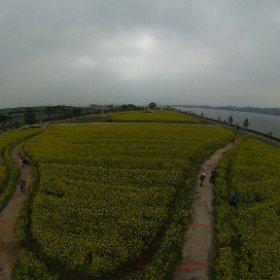 구리한강공원 유채꽃 #theta360