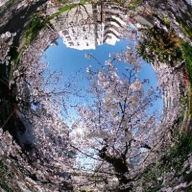 一足先に試用中のTHETA Z1で桜の中シータ! めちゃキレイなのでご堪能あれ。 #桜 #thetaz1 #theta360