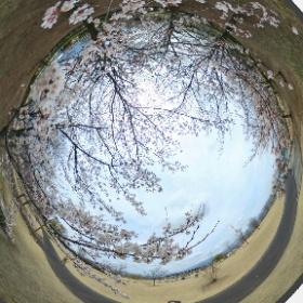 THETA S で360度の全天球桜写真撮りに行ったらまだ早かった、桜吹雪やってみよう。ってか露出+1でもまだ暗いなぁ。 #sakura3d #theta360