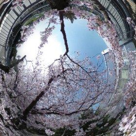熊本高専 熊本キャンパス2号棟と3号棟の渡り廊下から花見 #theta360