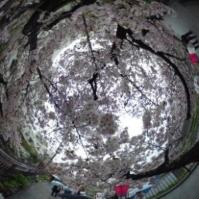 戸塚の柏尾川沿いの桜です。残念ながら小ぶりの雨模様ですが。。。#sakura3d  #theta360