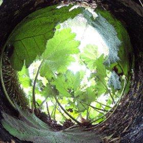 Giand Rhubarb Hortus Botanicus