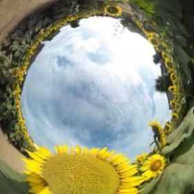 Sunflower island in Setagaya-ku,Tokyo