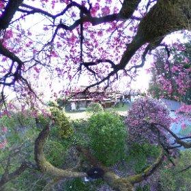 2019/04/28 勝保沢1-2 桜吹雪 #sakura3d #theta360