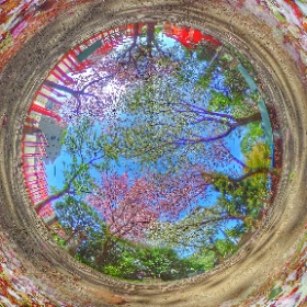 #CherryBlossoms #Shrine #Tokyo #Japan #笠森稲荷神社 #小金井市 #東京 #桜 #山桜 #ヤマザクラ #神社 #鳥居 #小金井百景 360.kudo.gr.jp #TokyoSuburb #Koganei #RICHOH #THETA #360 #Panorama #CherryBlossom #Sakura #Yamazakura #Jinja #sacred #Shinto #torii #sakura3d  #theta360