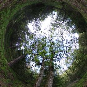 Paraplyträd nr p33 i Skarnhålans gammelskog. Genom att sponsra Par-ekarna så skyddas ekarna och deras närmaste omgivning för evigt. https://naturarvet.se #naturarvet #gammelskog #naturvård #skyddadnatur #natur #paraplyträd #ek #fadder