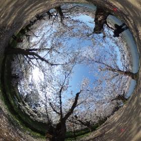 弘前公園西濠、桜のトンネル。 #hirosaki #sakura #cherryblossom #theta360