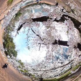 日比谷公園で桜の中シータ。 #桜 #日比谷公園 #theta360