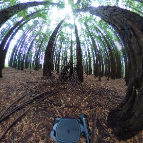 Redwood Forest Cement Creek #warburton #yarravalley  #theta360 #theta360uk