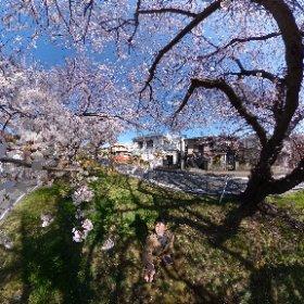 3/24 検見川 桜並木 #sakura3d #theta360