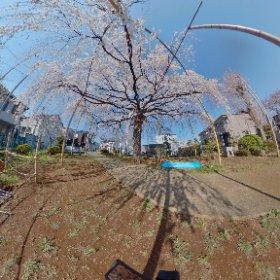 垂れ桜が満開です。 #sakura3d #theta360