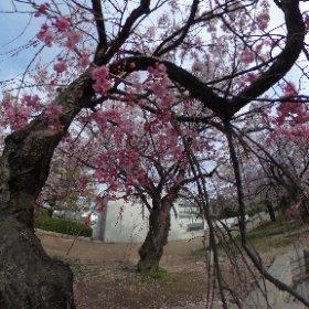 桜吹雪、遊んでみました(≧∇≦) #sakura3d #theta360