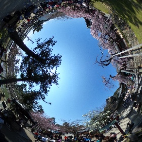 奈良県 氷室神社 桜