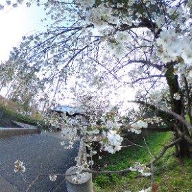 桜と雪の饗宴 #金沢城 #桜 #snowcrystal3d #theta360