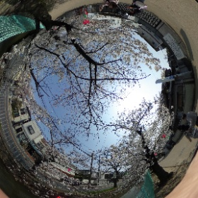 恩智川の桜並木