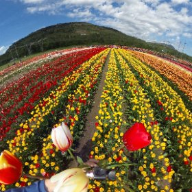 Pickin' a bouquet of Fraser Valley colour @AbbotsfordTulipFestival #BloomsBest2017 #360vr #theta360