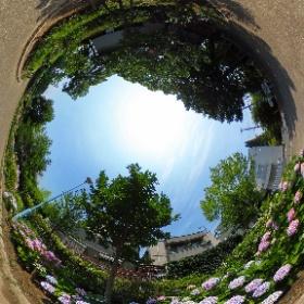 桃ヶ池の紫陽花 #theta360