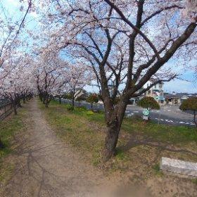 平和市民公園 裏川緑地の桜並木 #sakura3d #theta360
