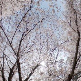 桜散歩 #sakura3d #theta360