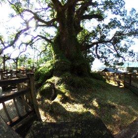 蒲生の大楠です。樹齢1500年と推定されています。