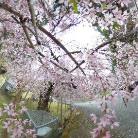 2019/04/21  黒田発電所 #sakura3d  #theta360
