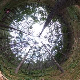 1. 標高1,500m付近の緩斜面に落葉松林とマルバダケブキ。 #theta360