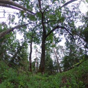 Paraplyträd nr p10 i Skarnhålans gammelskog. Genom att sponsra trädet skyddar du det och dess närmaste omgivning för evigt. https://naturarvet.se/paraplytrad-och-skogsrutor-i-skarnhalan/ #theta360
