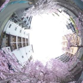 ニケ領用水の桜。時々鯉が跳ねてます(^^)