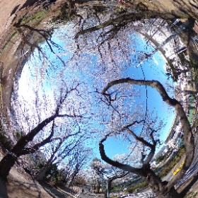 Cherry Blossom in Tamako Bike Road (Tokyo, Japan)  多摩湖自転車道(東京都小平市)では桜が満開です。  <Musashino Media Laboratory> http://www13.plala.or.jp/mml/index_E.html <武蔵野メディア研究所> http://www13.plala.or.jp/mml/