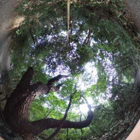 自然教育園にあった素敵な松です。  www.zushi-seitai.com ドイツ式カイロプラクティック逗子整体院    #theta360