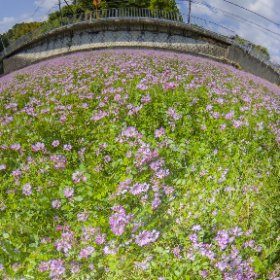 RICOH THETA Z1 Location: Sugi, Hirakata-City/Osaka,Japan Full of lotus, Just before tilling a rice field. RAW developed by Adobe Lightroom Classic, Stitched by PTGui Pro ver.11.13 Sv ISO80, f/3.5 SS1/1250 5000K #thetaz1 #theta360