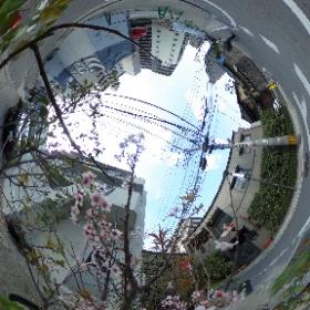 近所の植木鉢から咲いていた桜をパシャり。春がきましたねぇ。 #sakura #桜 #theta360
