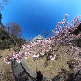 寒桜は満開。梅はこれから。
