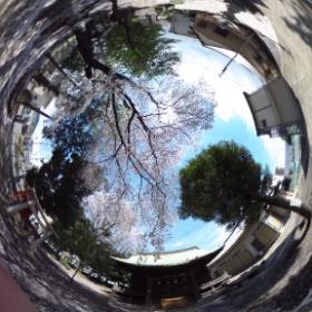 新たな遊び道具。神社に咲いていた桜を、360度カメラで撮影しました。