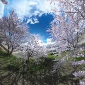 #sakura3d タグ付けで桜吹雪になるそうなのでテスト。今年はソメイヨシノ見られるかな〜。 #theta360