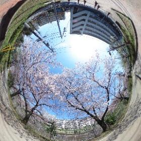 ということで、「四月は君の嘘」の練馬高野台の桜はほぼ満開です。 #君嘘 #theta360