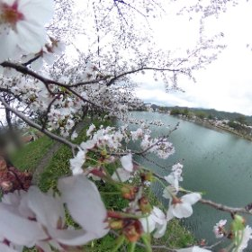 There are many Sakura trees around a pond, Daikakuji temple, Kyoto. I thought samurai also enjoyed Sakura. Sakura connects with us. #sakura3d #kyoto #sakura #360degrees #theta360