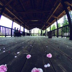 檜舞台に敷き詰められた、八重桜の花びら #sakura3d #theta360