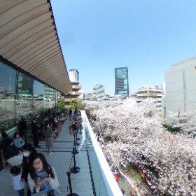 (STARBUCKS RESERVE ROASTERY TOKYOのテラスから見える目黒川の桜は🌸最高に美しい #sakura #theta360