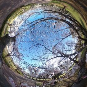 宮崎県総合文化公園の桜(ソメイヨシノ)。こんなところで咲いていました。 #theta360