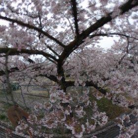 #sakura3d PLの桜です。 画面にタッチしてからスライドして下さいね。 #theta360