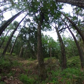 Paraplyträd nr p9 i Skarnhålans gammelskog. Genom att sponsra trädet skyddar du det och dess närmaste omgivning för evigt. https://naturarvet.se/paraplytrad-och-skogsrutor-i-skarnhalan/ #theta360